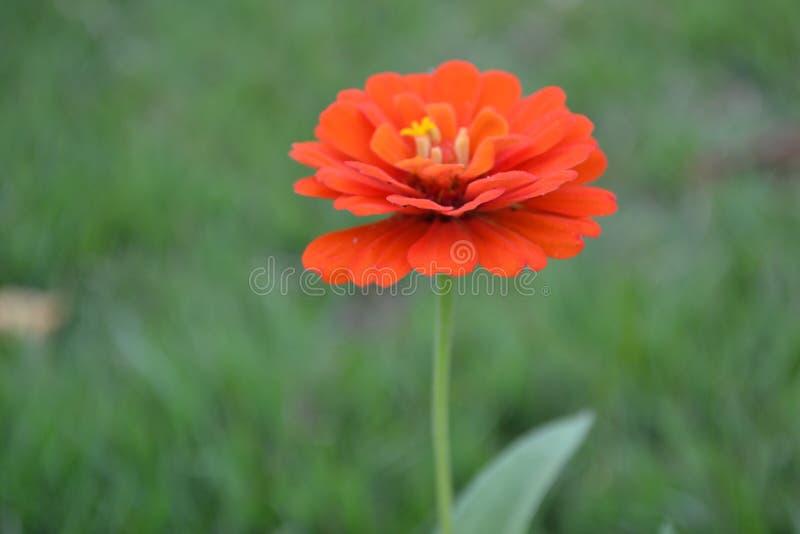 La flor anaranjada imagenes de archivo