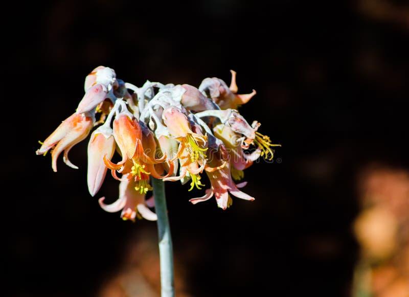 La flor anaranjada del orbiculata del cotiledón, conocida comúnmente como el oído del ` s del cerdo u ombligo-mosto redondo-hojea imagen de archivo