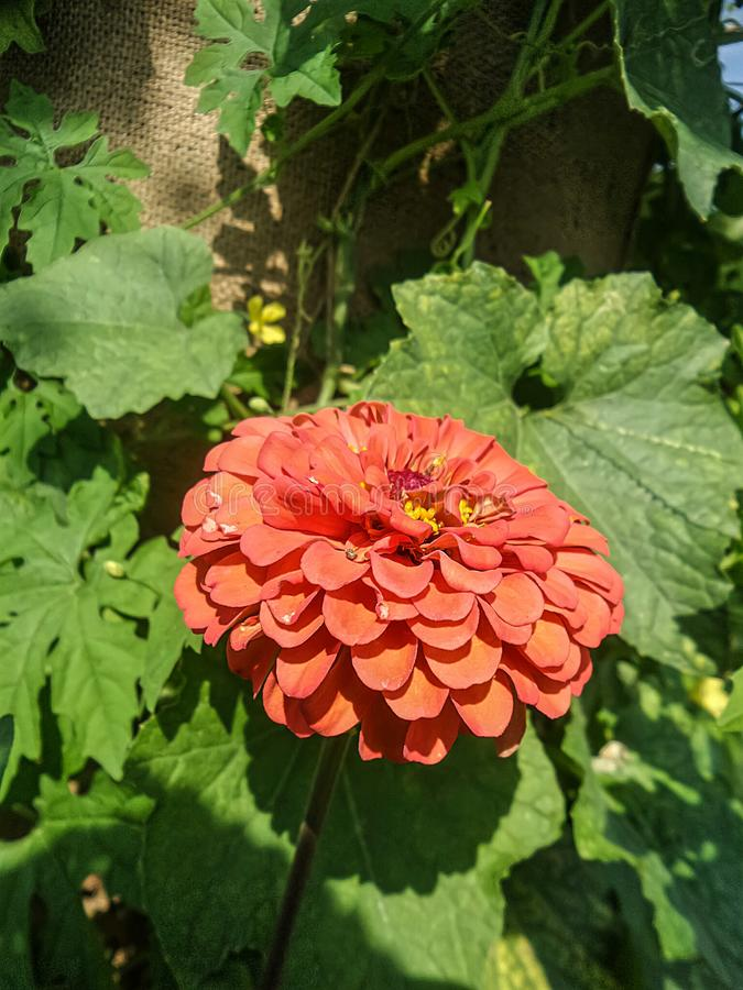 La flor anaranjada floreciente del Zinnia en el saco texturiza el fondo imagen de archivo