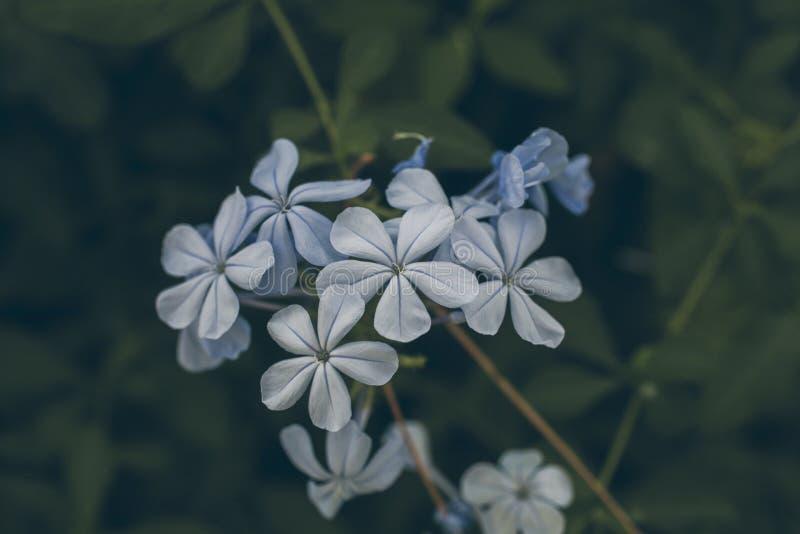 La flor azul del grafito en verde sale del fondo Grafito Auriculata Ciérrese encima de vista de la flor azul del grafito Flores t fotos de archivo libres de regalías