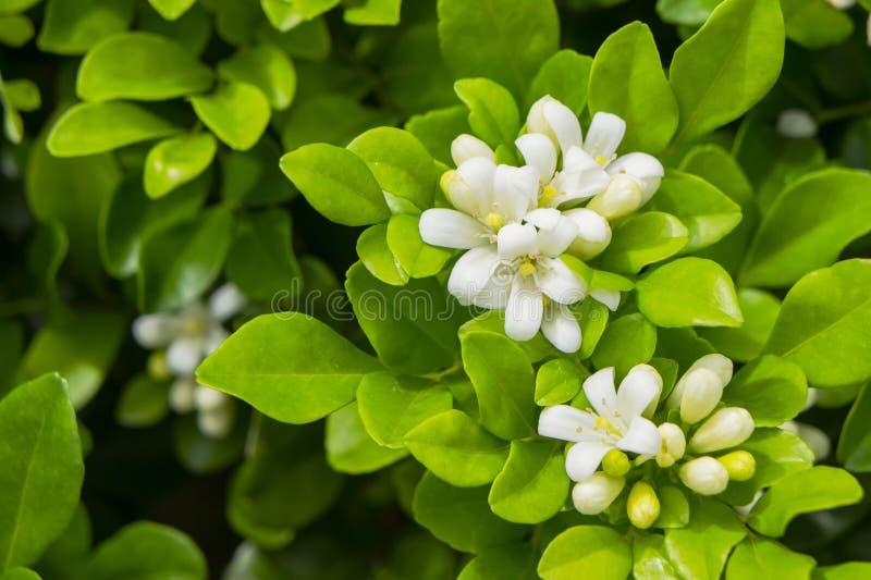 La flor blanca del paniculata del murraya foto de archivo libre de regalías