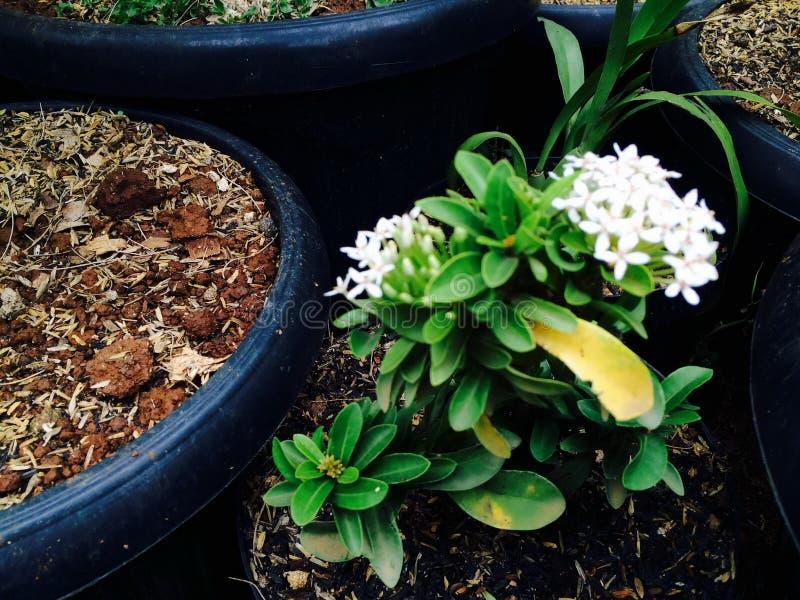 La flor blanca está floreciendo en luz del día fotografía de archivo libre de regalías
