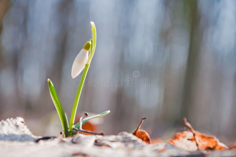 La flor blanca hermosa del snowdrop comienza a florecer en el bosque fotos de archivo