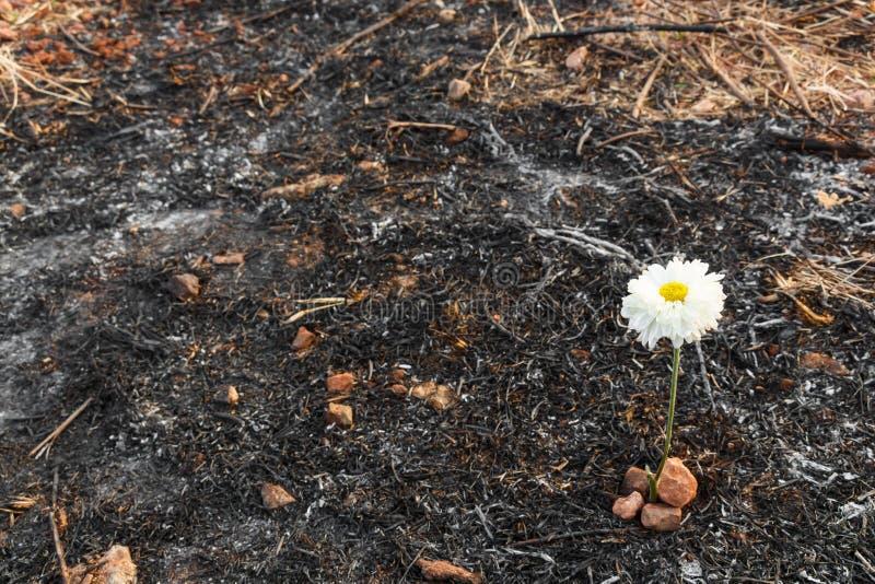 La flor blanca sobrevive en la ceniza de la hierba quemada fotografía de archivo libre de regalías