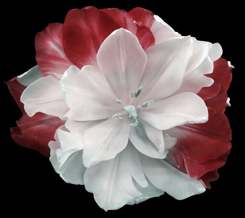 la flor Blanco-roja del tulipán en negro aisló el fondo con la trayectoria de recortes Ningunas sombras primer imágenes de archivo libres de regalías