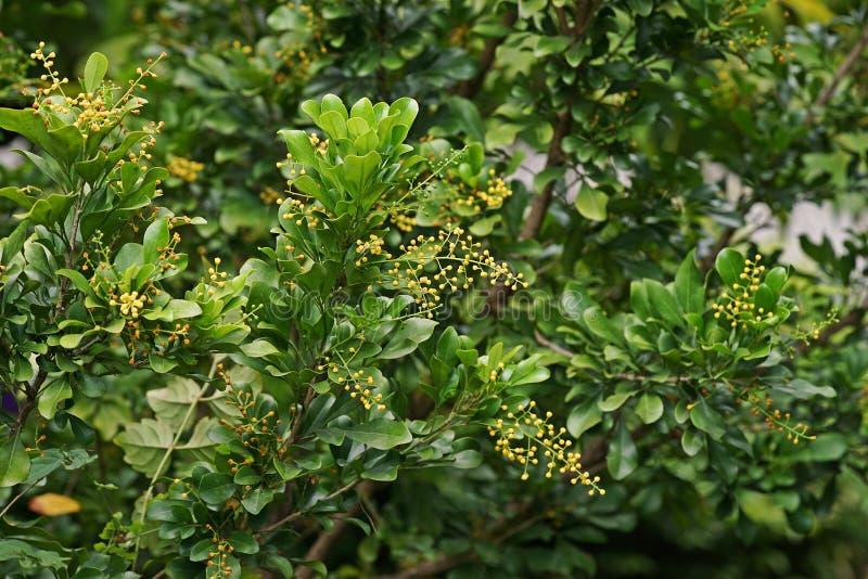 La flor china del arroz o la planta de perfume china, arbusto tropical produce los racimos de flores amarillas minúsculas imágenes de archivo libres de regalías
