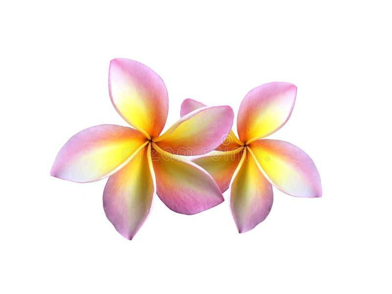 La flor colorida fresca del frangipani está floreciendo en el fondo blanco imagen de archivo