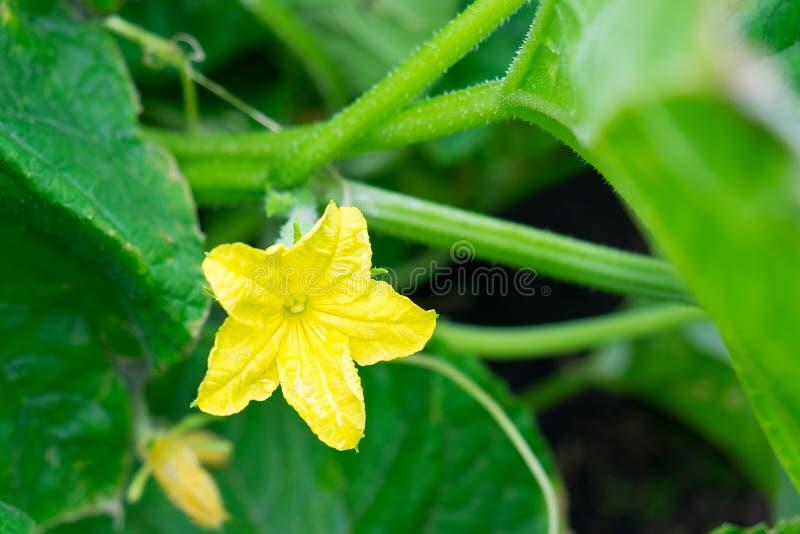 La flor creciente del pepino en verde sale del fondo imagen de archivo libre de regalías