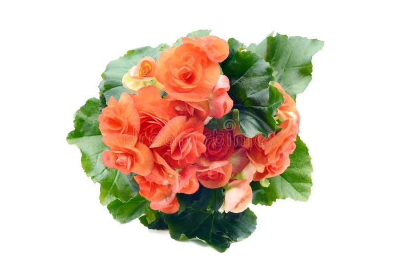 La flor de Begonia Elatior del rojo anaranjado en blanco aisló el fondo imagen de archivo libre de regalías