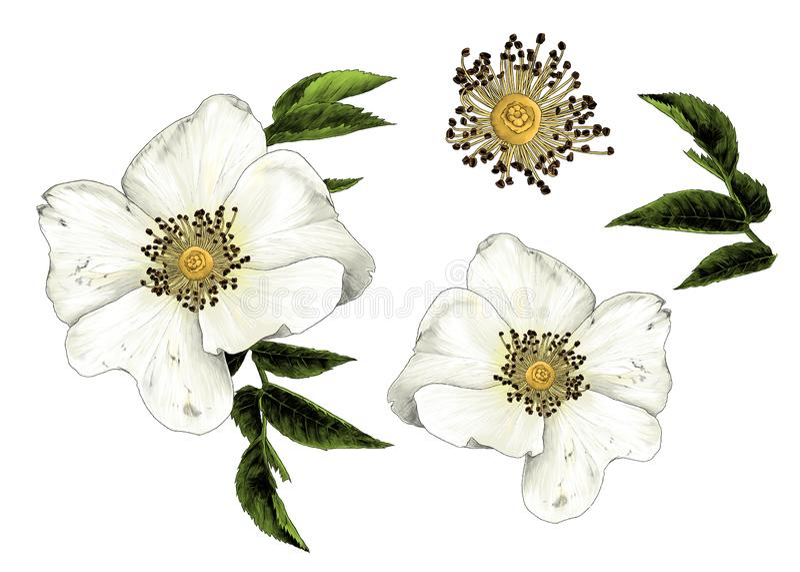 La flor de la cadera de Rose con las hojas fijó de elementos múltiples libre illustration