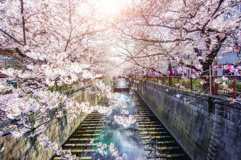 La flor de cerezo alineó el canal de Meguro en Tokio, Japón Primavera adentro foto de archivo
