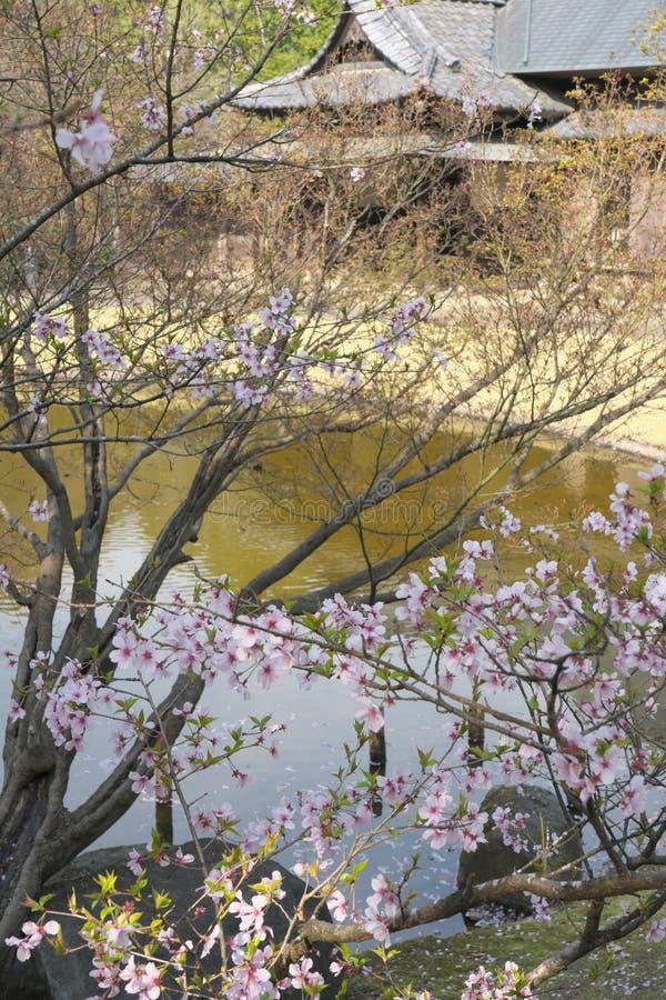 La flor de cerezo comenzó a agitar abajo en Tokio, Japón imágenes de archivo libres de regalías