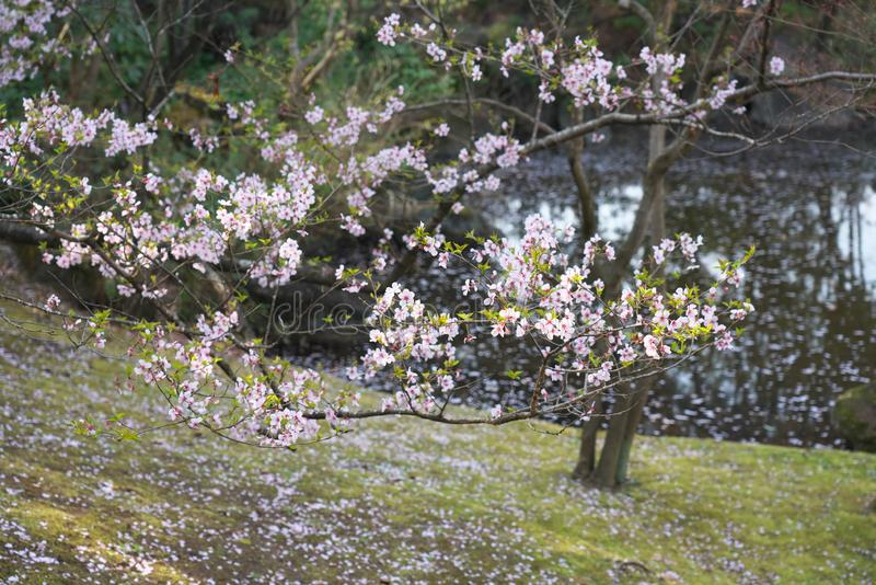 La flor de cerezo comenzó a agitar abajo en Tokio, Japón fotos de archivo