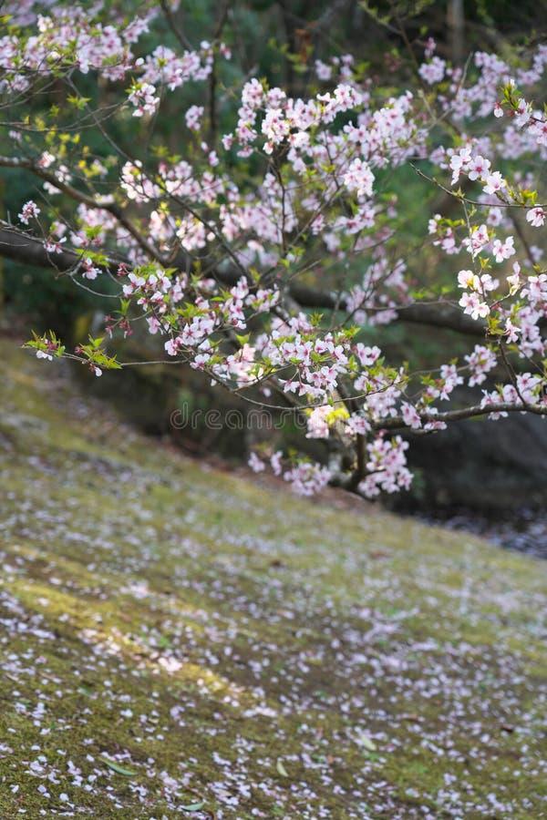 La flor de cerezo comenzó a agitar abajo en Tokio, Japón fotos de archivo libres de regalías