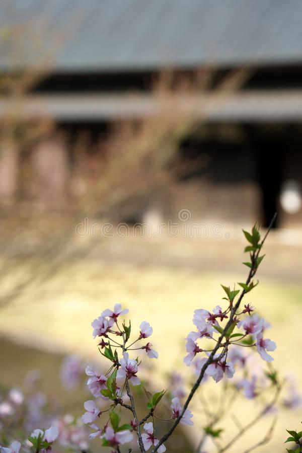 La flor de cerezo comenzó a agitar abajo en Tokio, Japón imagen de archivo