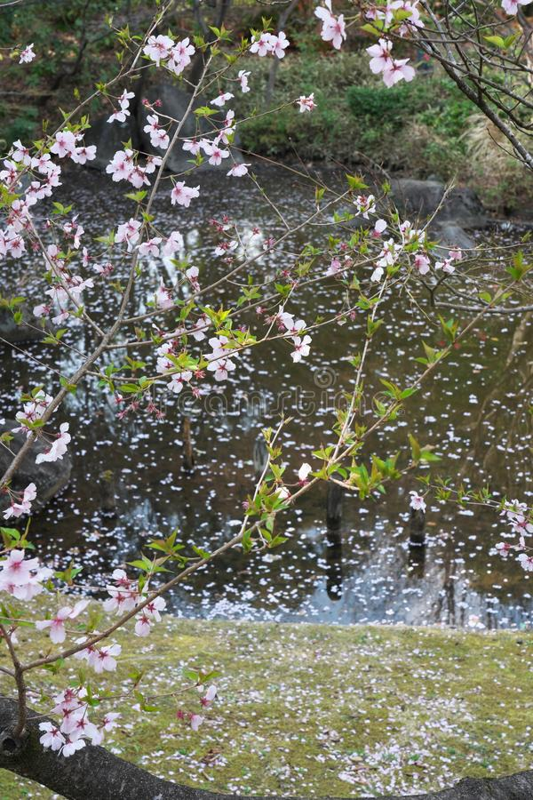 La flor de cerezo comenzó a agitar abajo en Tokio, Japón imagen de archivo libre de regalías
