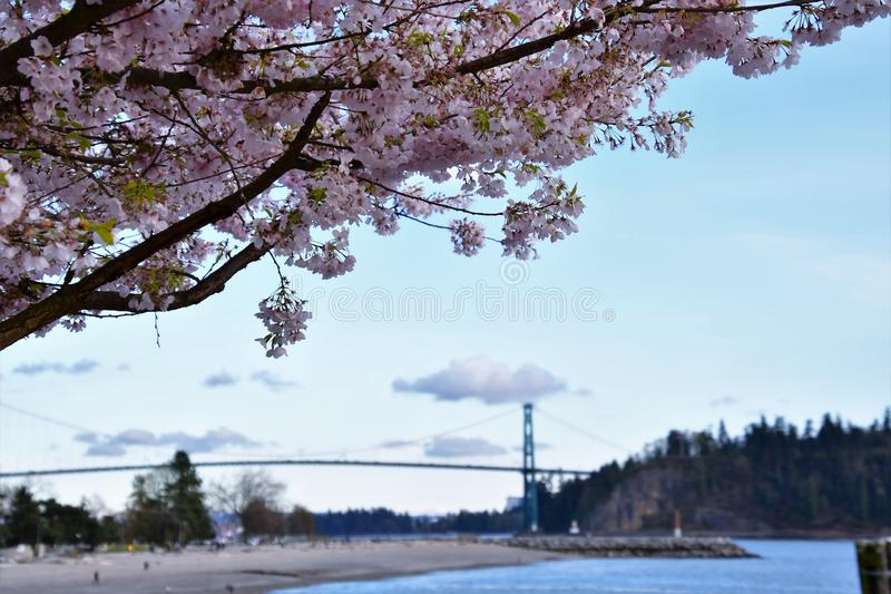 La flor de cerezo contra el puente de la puerta de los leones fotos de archivo