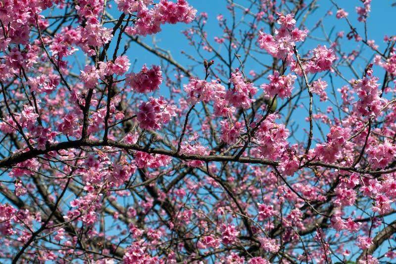 La flor de cerezo rosada hermosa Sakura florece sobre un cielo azul foto de archivo libre de regalías