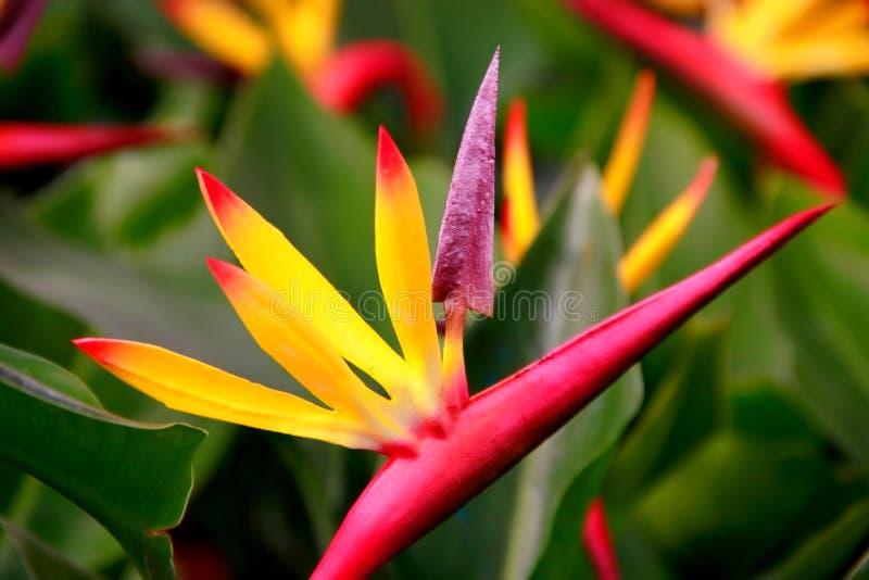 La flor de la felicidad y de la longevidad del  del freedom〠fotos de archivo libres de regalías