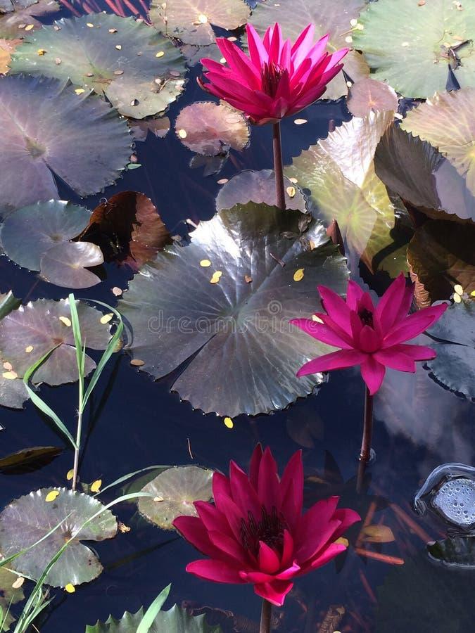 La flor de la loteria fotografía de archivo libre de regalías