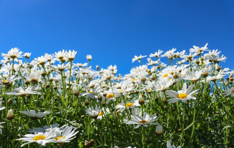 La flor de la margarita simboliza inocencia, un amor leal y el gentlene imagen de archivo