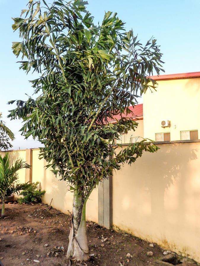La flor de la palma por la cerca de la casa con el sol irradia fotografía de archivo