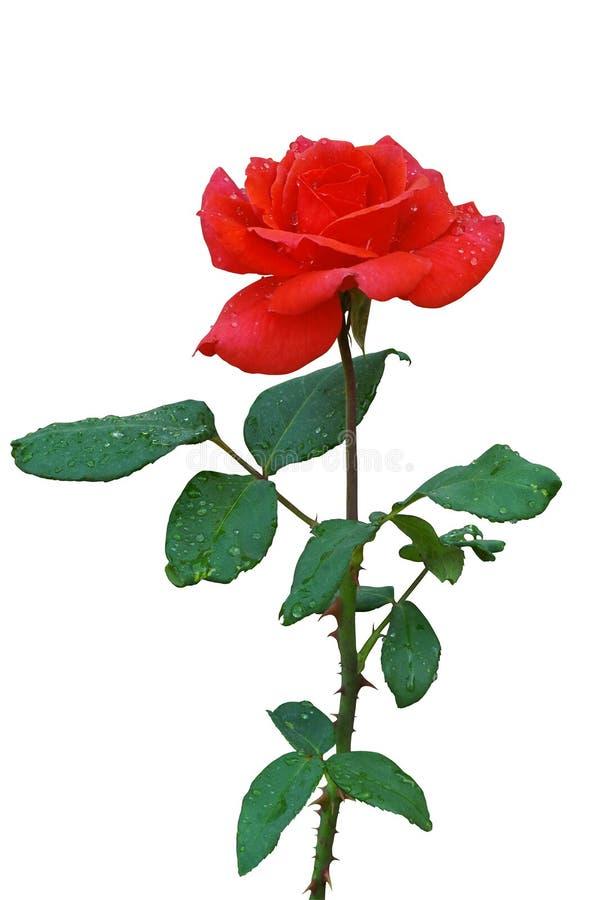 La flor de la rosa del rojo con agua cae en los pétalos y o aislado las hojas imagen de archivo libre de regalías