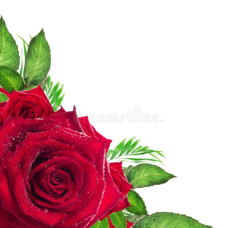 La flor de la rosa del rojo con verde se va en el fondo blanco fotos de archivo libres de regalías