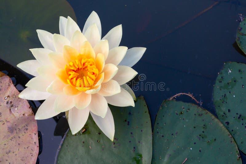 La flor de loto blanco en la charca pacífica, visión superior fotografía de archivo