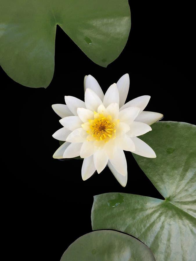 La flor de loto blanco o el lirio de agua hermosa en la charca imagenes de archivo