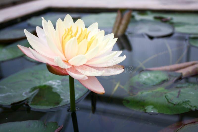 La flor de loto hermosa es el símbolo del Buda, Tailandia Cl fotografía de archivo