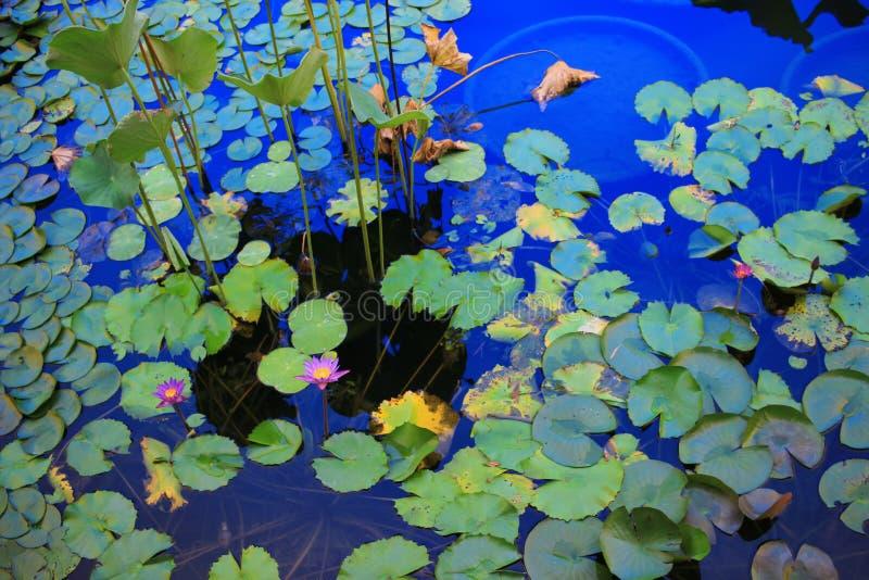 La flor de Lotus en la laguna y la reflexión asolean la luz fotos de archivo libres de regalías