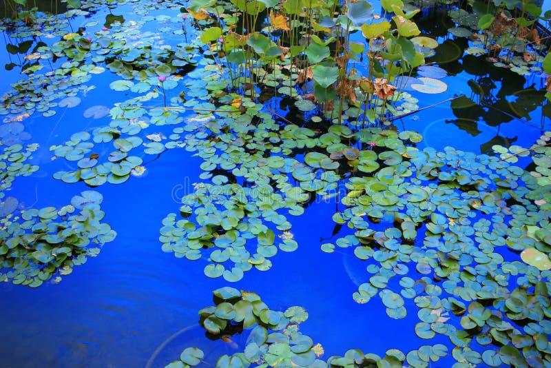 La flor de Lotus en la laguna y la reflexión asolean la luz fotografía de archivo