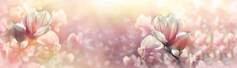 La flor de la magnolia se encendió por la luz del sol - florecimiento hermoso imagenes de archivo