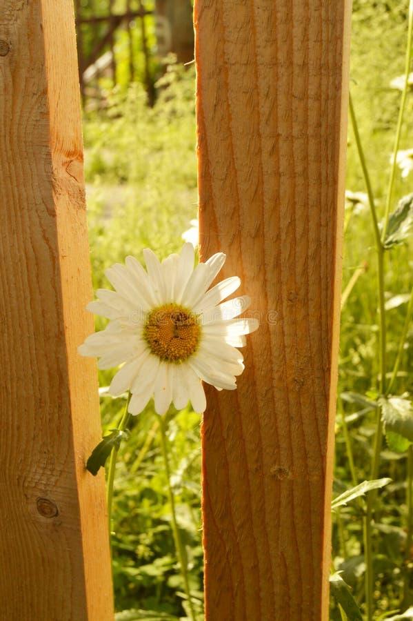 La flor de la margarita blanca, primer, crece cerca de una cerca de madera hermosa fondo borroso de la hierba verde foto de archivo libre de regalías
