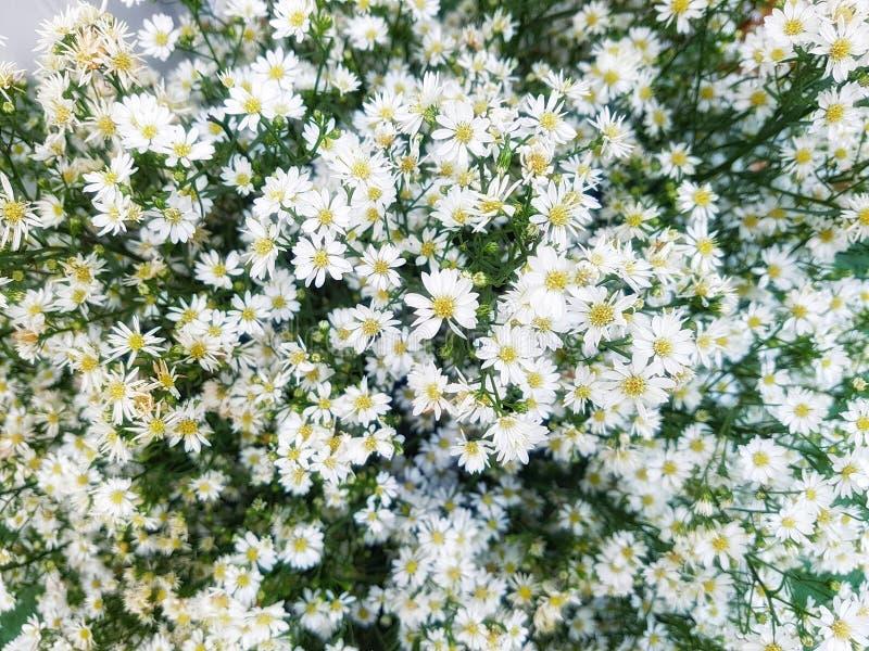 La flor de la margarita - manzanilla salvaje fotografía de archivo libre de regalías
