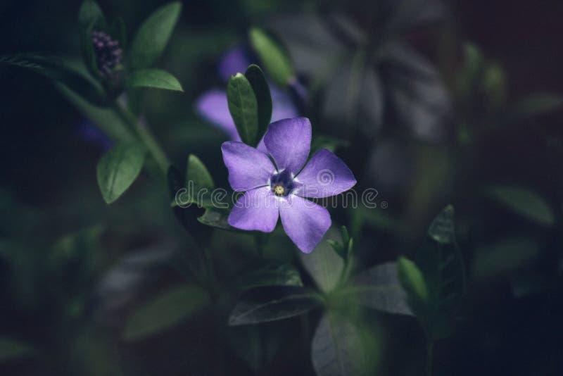 La flor de menor importancia del Vinca azul hermoso del bígaro con los pétalos púrpuras brillantes se cierra para arriba en fondo imágenes de archivo libres de regalías