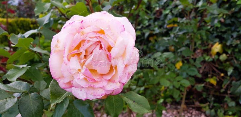 La flor de Rose en la rama con grande varió tonalidades rosadas foto de archivo