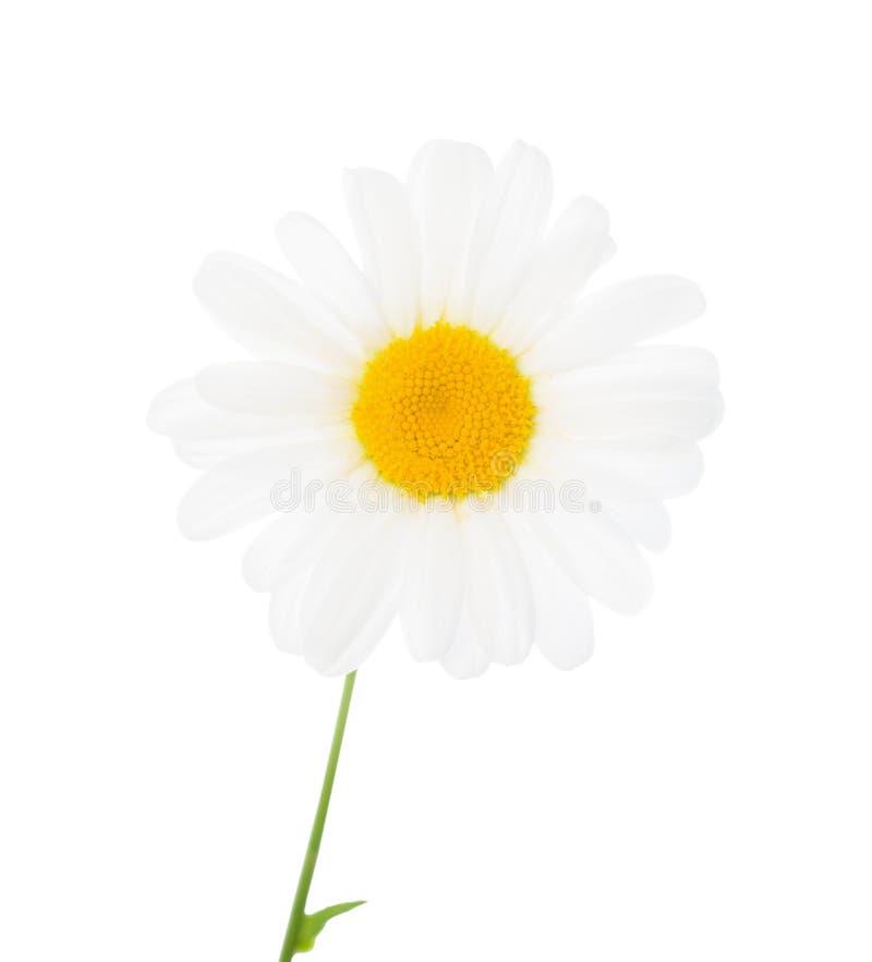 La flor de una manzanilla se aísla en el blanco, primer fotos de archivo
