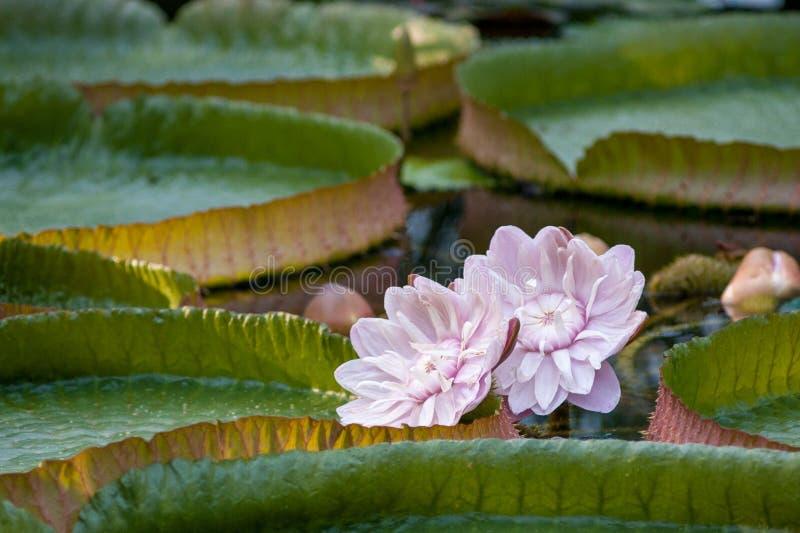 La flor de Victoria en el amazonica del Amazonas Victoria imagenes de archivo