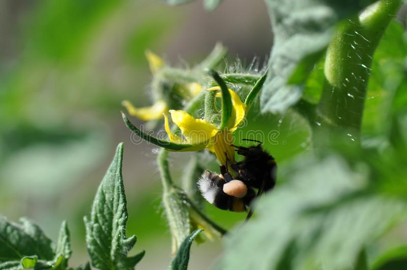 La flor del amarillo de tomate y manosea la abeja fotos de archivo