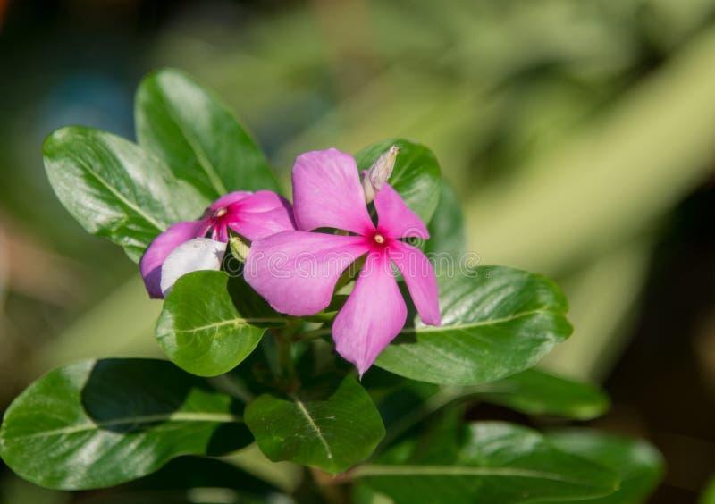 La flor del bígaro de Madagascar imagen de archivo
