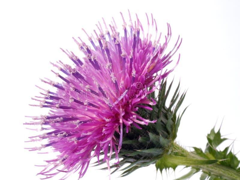 La flor del cardo de algodón imagenes de archivo