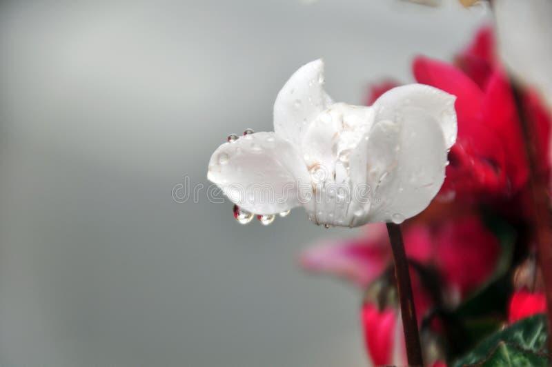 La flor del ciclamen con descensos cubiertos de rocio imagen de archivo