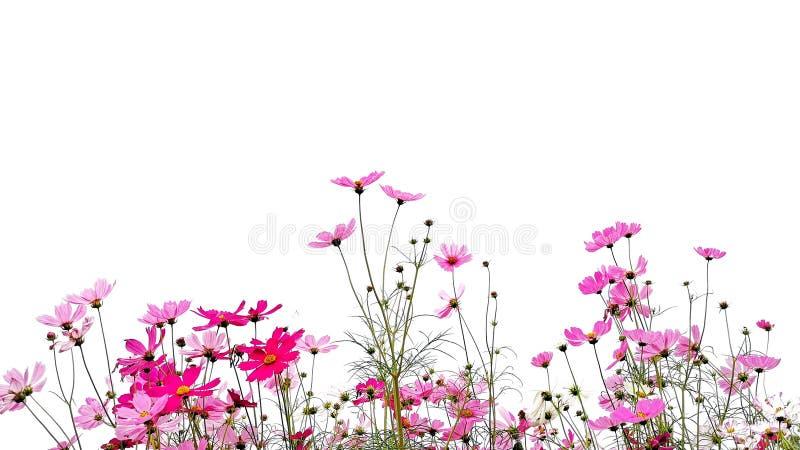 La flor del cosmos es tallo de la floraci?n y del verde aislado en el fondo blanco imagen de archivo