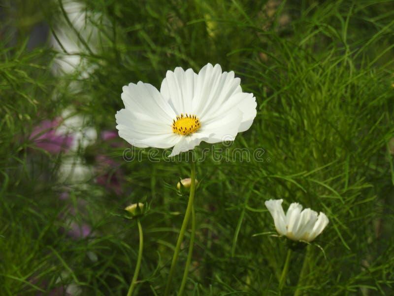 La flor del cosmos es una planta delicada que embellece fácilmente un jardín por sus numerosas flores en el verano foto de archivo libre de regalías