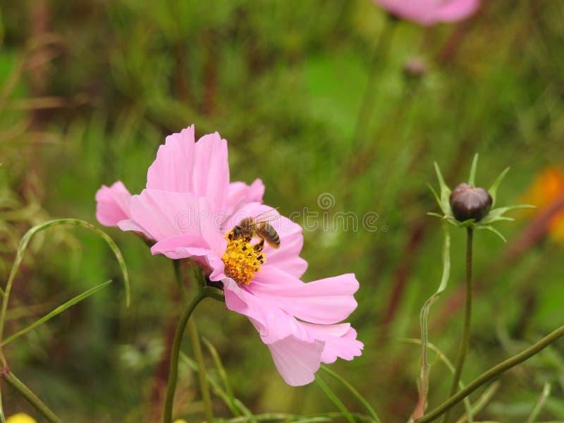La flor del cosmos es una planta delicada que embellece fácilmente un jardín por sus numerosas flores en el verano imagen de archivo