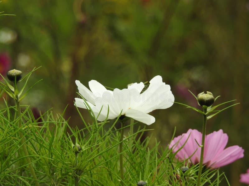 La flor del cosmos es una planta delicada que embellece fácilmente un jardín por sus numerosas flores en el verano fotografía de archivo libre de regalías