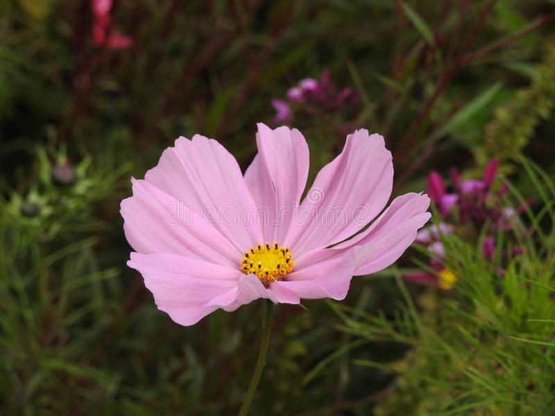 La flor del cosmos es una planta delicada que embellece fácilmente un jardín por sus numerosas flores en el verano fotos de archivo libres de regalías