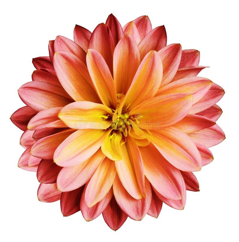 La flor del crisantemo rojo-amarilla en un blanco aisló el fondo con la trayectoria de recortes ningunas sombras primer Para el d imagen de archivo libre de regalías